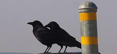 P1243683 Five Canyons 20140124 (caligula1995) Tags: crows 2014 fivecanyons