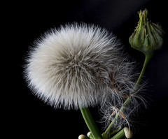 Dandelion Like Head (Bill Gracey) Tags: plant nature blackbackground shadows shapes lakeside dandelion naturalbeauty botany softbox softlight filllight directionallight offcameraflash hawksbeard yongnuorf603n falsedandelions yn560iii