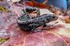 Silvery Salamander