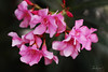 Pink Oleander (ζάђяάά) Tags: pink flowers flower canon 50mm f14 oleander ورد وردي pinkoleander زهر كانون زهور زهري