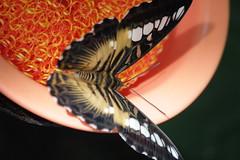 Cockrell Butterfly Center.  Houston Museum of Natural Science.  Houston Texas.  1 February 2015 (ov.black) Tags: museum butterfly insect butterflies houston insects houstonmuseumofnaturalscience canoneos houstontexas invertebrate invertebrates houstontx cockrellbutterflycenter harriscounty f4f56 harriscountytx 55250mm harriscountytexas 1200d canoneos1200d canoneoskissx70 canoneosrebelt5 rebelt5 kissx70