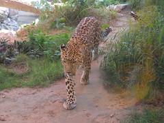 Arabian Leopard (oldandsolo) Tags: fauna zoo uae leopard abudhabi unitedarabemirates bigcats carnivore zoologicalgardens nimr arabianleopard pantherapardusnimr emiratesparkzoo samhaabudhabi