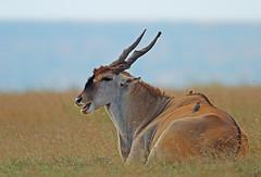Rumination! (Rainbirder) Tags: kenya maasaimara commoneland taurotragusoryx rainbirder
