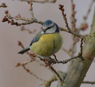Bluetit from today