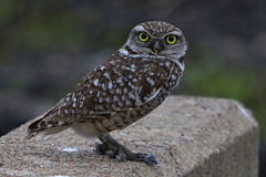Burrowing Owl (gregpage1465) Tags: bird nature photography photo texas greg wildlife picture page owl athenecunicularia burrowingowl burrowing gregpage