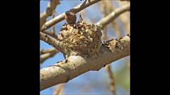 Mother Anna's Hummingbird Madrona Marsh Almost Springtime 2015 (pekabo90401) Tags: nest hummingbirds birdwatching annashummingbird babyhummingbirds madronamarsh southerncaliforniabirds motherhummingbird motherandbabybird birdwatchinglosangeles pekabo90401 birdsofmadronamarsh