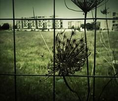 La resistenza del fiore di campo (Federica Frisoli) Tags: city flower landscape campagna palazzo paesaggio citt speculazioneedilizia fioredicampo