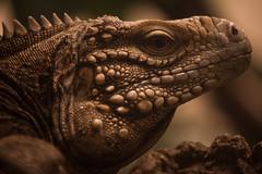 Cuban rock iguana (Kitty Terwolbeck) Tags: animal zoo leguaan iguana dier zooantwerpen dierentuin iguanidae cubaniguana cubanrockiguana cycluranubila cubangroundiguana