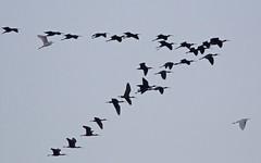 ibis falcinelle et aigrette garzette rentrant au dortoir - IMG_9827 (6franc6) Tags: mars 30 canon explore languedoc gard 2015 petitecamargue 6franc6 eos70d ef100400f4556lisiiusm