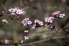 Plum Blossoms (Paul Rioux) Tags: flowers plants flower tree nature bokeh depthoffield foliage horticulture plumblossoms prioux