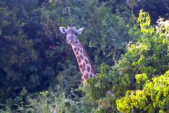 Giraffe Over the Trees