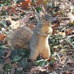 Squirrels at the University of Michigan (March 17, 2015) thumbnail