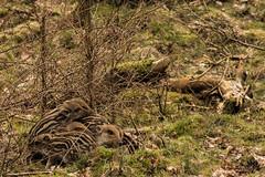 Boar Piglets (Ben Garssen) Tags: park wood wild holland netherlands dutch forest woods nikon wildlife nation nederland dieren parc dier veluwe veluwezoom gelderland rheden nationaal aninal d5200 veluwezoon