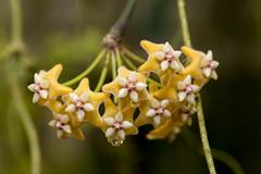 Hoya coriacea (pixelGeko) Tags: hoya asclepiad coriacea