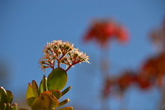 Crassula ovata (esta_ahi) Tags: barcelona espaa white flores spain flora flor crassulaceae crassula ovata crassulaovata  vilafrancadelpeneds cultivadas