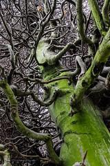 Wirbelnde ste  |  Vortexes (gerhard.wolff2016) Tags: uk tree green fairytale canon garden botanical eos edinburgh branches natur hedge 7d mystical grn auld ste medusa baum beech myth fable schottland mrchen buche royalbotanicgardenedinburgh botanischergarten hecke reekie