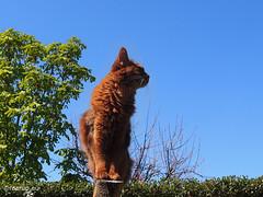 Red, blue and green (Finn Frode (DK)) Tags: pet cats animal cat garden denmark spring outdoor watch bluesky olympus stump som somali somalicat caithlin omdem5 dusharacathalcaithlin
