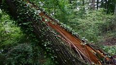 DSCN1416 (VerlynC) Tags: tree falling hickory