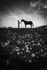If Wishes Were Horses (Jen MacNeill) Tags: sunset blackandwhite bw horse woman weeds contrail dandelion wildflowers thoroughbred equine dandelions