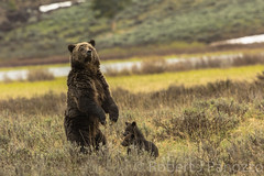 Vigilant Mom (ChicagoBob46) Tags: cub yellowstonenationalpark yellowstone cubs grizzly grizz grizzlybear
