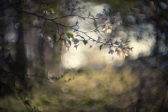 grace among the common (Lamson Noswen (c'lamson)) Tags: light wild white spring woods bokeh unnamed lamson wildblossoms