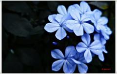 Jazmn azul, Plumbago......P1120925IP (gtercero) Tags: plumbago jazmnazul gtercero 20150630