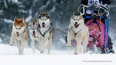 Sled dog race (My Planet Experience) Tags: winter dog snow animal alaska race husky samoyed ak running racing malamute yukon greenland siberian musher mushing sled sleigh eskimo pulk sledge snowdog yt pulka groenland samoyede meaudre wwwmyplanetexperiencecom myplanetexperience