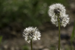 Wishes waiting to be granted (Little Salty Dog) Tags: flower nature spring wish dandelions makeawish