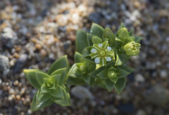 Sea Sandwort (Honckenya peploides) (macronyx) Tags: flowers plants plant flower nature blommor sandwort växter växt arv honckenya honckenyapeploides seasandwort saltarv