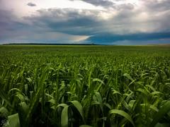 Before rain... (Hasan Yuzeir) Tags: sky cloud green field grass rain landscape phone wheat samsung galaxy hasanyuzeir