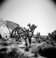 Joshua Tree National Park (mikerastiello) Tags: california ca blackandwhite film nationalpark holga lomo lomography joshuatree filmcamera 120mm joshuatreenationalpark blackwhitefilm joshuatreecalifornia joshuatreeca