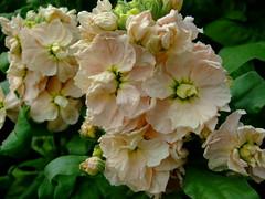Matthiola incana (yewchan) Tags: flowers flower nature colors beautiful beauty closeup garden flora colours gardening vibrant stock blossoms stocks blooms lovely matthiola hoarystock matthiolaicana