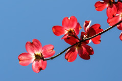 Beautiful dogwood flowers (Sky_PA (Catching up slowly- On/Off)) Tags: pink flowers blue red sky lebanon flower tree nature beautiful canon petals spring colorful skies cross outdoor pennsylvania pa dogwood legend inspiredbylove amateurphotography sx50