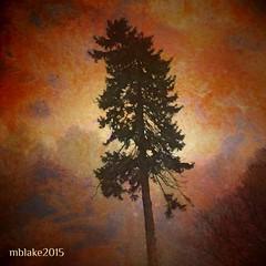 Lilting Tree (mblakephoto) Tags: orange mist tree nature talltree