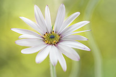 Cape Daisy (Mandy Disher) Tags: summer white flower green nature floral beauty spring flora daisy osteospermum capedaisy
