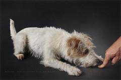 The owner and the dog 5 (Marijke M2011) Tags: dog pet cute love animal studio friend indoor hond terrier huisdier petportrait dogportrait parsonrussellterrier studiolightning hondenportret