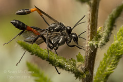 Ammophila (Sean McCann (ibycter.com)) Tags: bc wasp islandviewbeach ammophila sphecidae