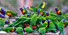 sharing the color (PhotoArt Images) Tags: color australia rainbowlorikeet australianwildlife nikon80400 nikond810 photoartimages