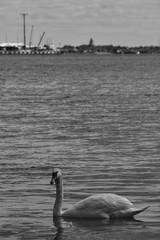 Swan. (nooragraphs) Tags: blackandwhite finland swan helsinki lauttasaari