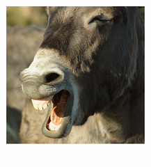 Laughing donkey (na_photographs) Tags: laugh lachen esel