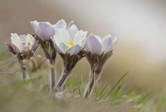 Pulsatilla Alpina (marypink) Tags: flowers nature focus bokeh ranunculaceae pulsatilla anemonealpina parconazionalegranparadiso valleorco nikkor80400mmf4556 nikond7200