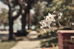Destiny (Carrie McGann) Tags: flowers trees interesting nikon bokeh sidewalk pacificpalisades solanum potatovine 051716
