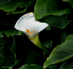Calla Lily - Monterey , CA (Ethan.Winning) Tags: