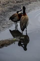 White-faced whistling ducks: mutual preening (PChamaeleoMH) Tags: birds fauna ducks barnes anatidae whitefacedwhistlingduck dendrocygnaviduata wetlandcentre