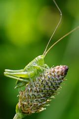 Sautes... allez, sautes (Fabisa00) Tags: baby macro green up closeup close pentax vert cricket grasshopper bb sauterelle k1 criquet
