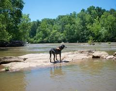 21/52 reverie (huckleberryblue) Tags: dog water river gracie rocks hiking hound coonhound bluetickcoonhound week21 52weeksfordogs