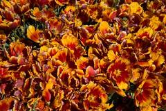 DSC_3724 (Copy) (pandjt) Tags: ca flowers canada bc britishcolumbia tulip abbotsford tulipfestival abbotsfordtulipfestival