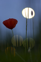 Shadow puppets & poppy (Fabien Husslein) Tags: light flower nature fleur night evening spring bokeh dusk dream lumiere poppy printemps coquelicot reves