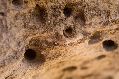 Colletes sp. (plasterer bees) nests tunnels in a layer of soft sandstone. (Jonathan Barth) Tags: usa utah kanab miningbee minerbee miningbees colletessp