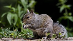 squirrel (Jason Davies Photography) Tags: trees nature animal outdoors photography nikon squirrel outdoor wildlife nuts naturereserve pembrokeshire westfieldpill pembrokeshirewales nikonphotography nikond7000 nikor55300 jasondaviesphotography